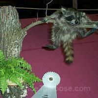 Baby Coon on limb